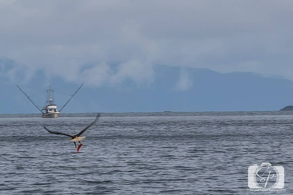 Eagle Taking the Rockfish in Alaska