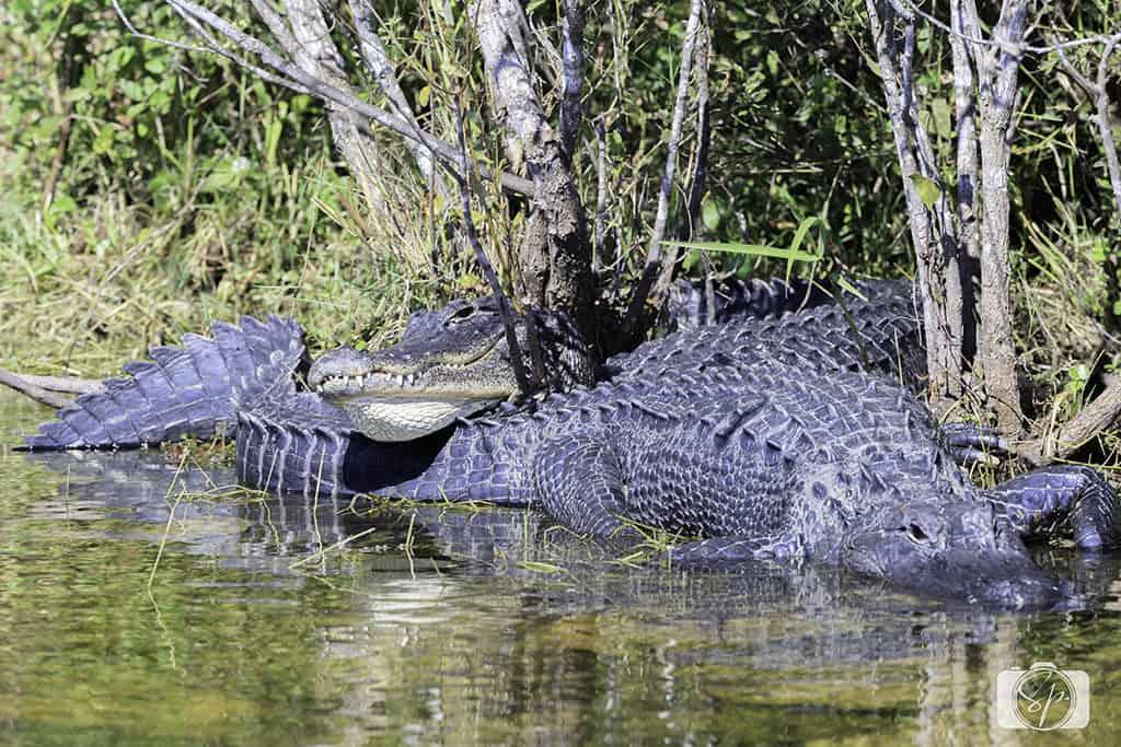 Florida Alligators