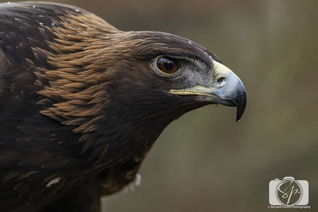 Golden Eagle at Cascades Raptor Center in Eugene Oregon