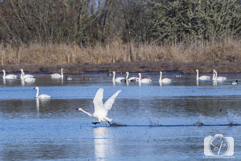 Goose in William L Finley National Wildlife Refuge