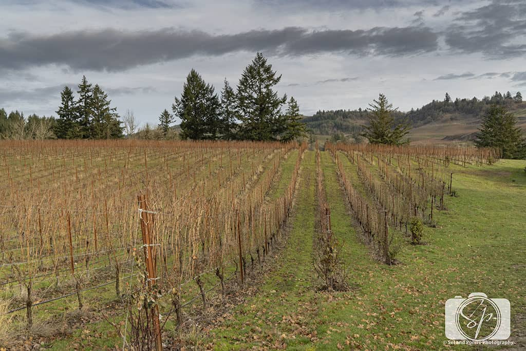 Winter Vines in Willamette Valley Oregon