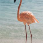 Adventures in Aruba_Flamingoes