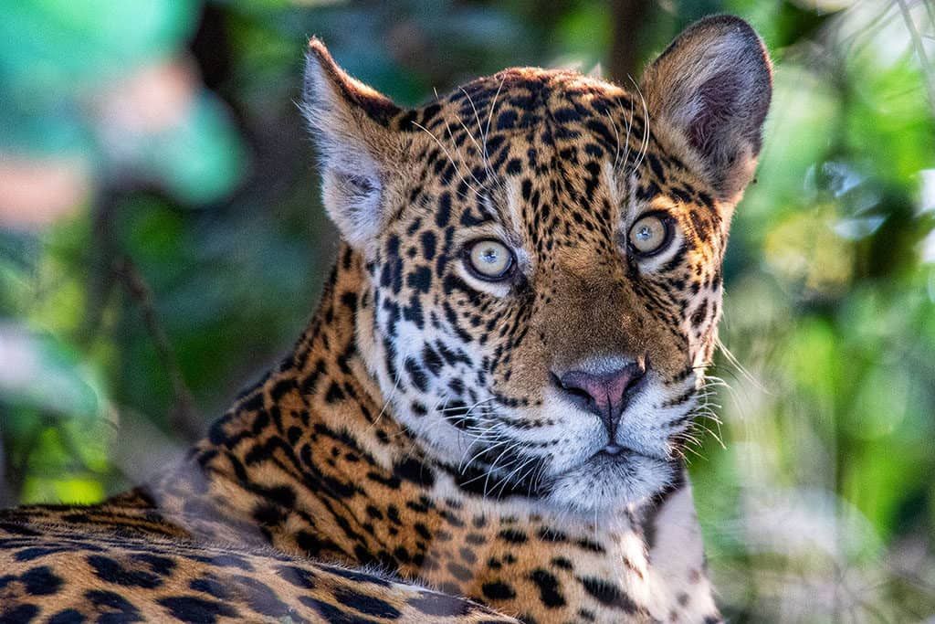 Traveler Tuesday - Margarita of The Wildlife Diaries_Jaguar in the pantanal