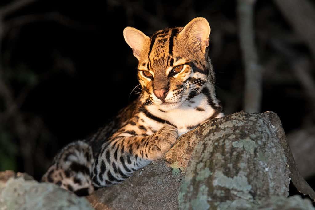 Traveler Tuesday - Margarita of The Wildlife Diaries_Ocelot in the Pantanal (2)