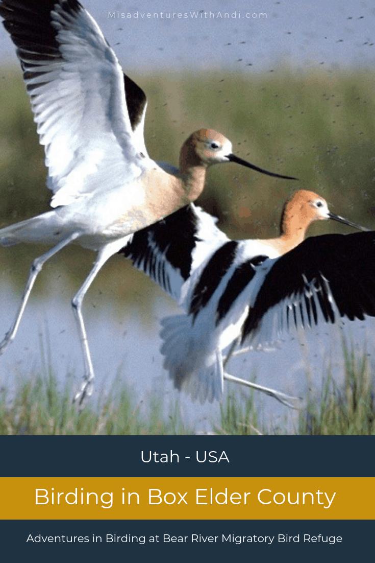 Birding in Box Elder County – Bear River Migratory Bird Refuge