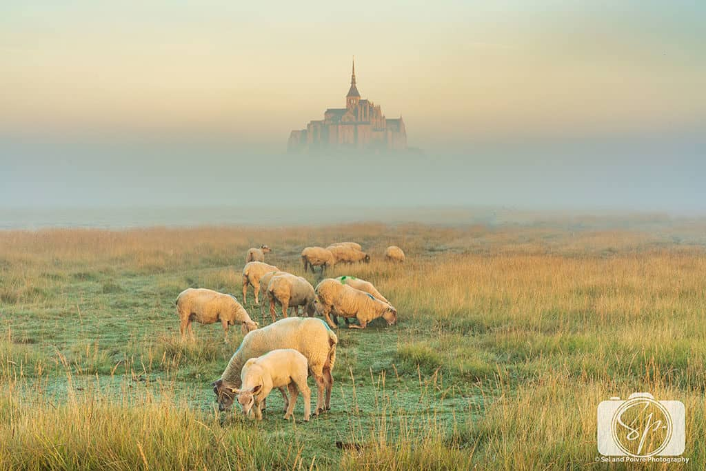 Sheep Farm next to Mont St Michel France at sunrise