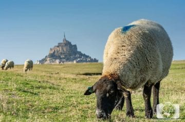 Sheep Farm next to Mont St Michel France hero