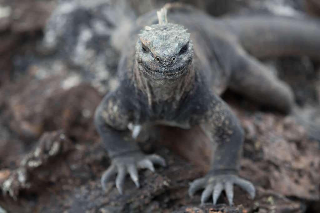 komodo dragon Galapagos Islands Ecuador