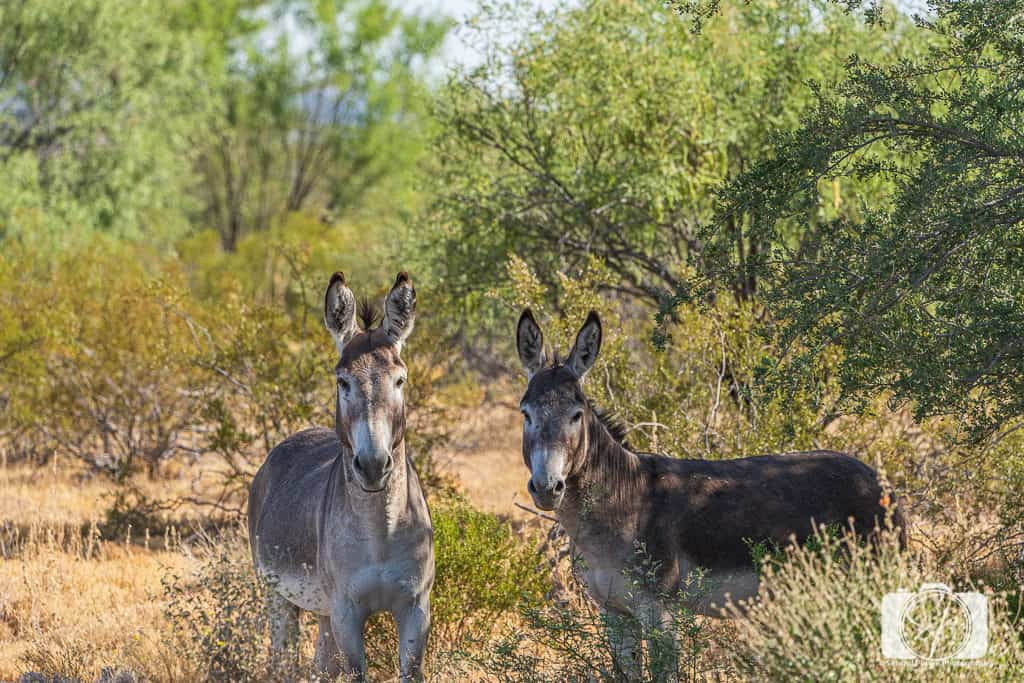 Burro Couple on the road to Pipe Organ National Monument Arizona