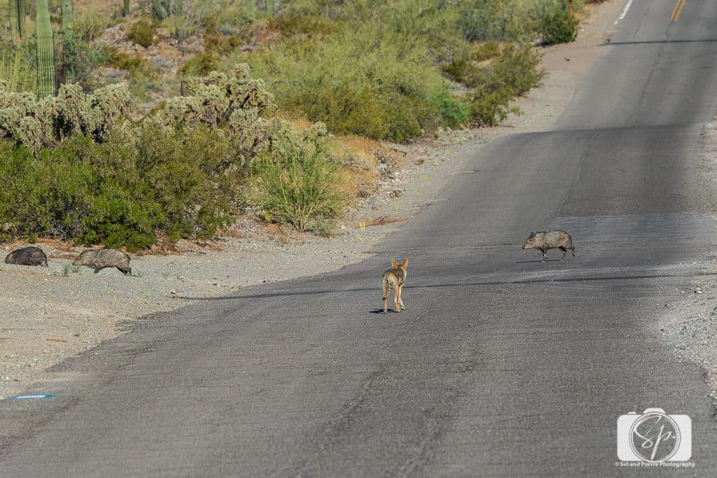 Coyotes waits for javelinas in Ajo Arizona