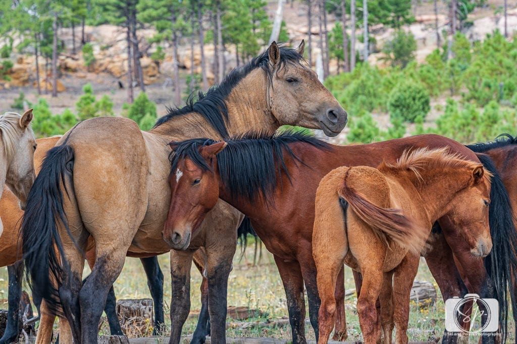 The 50 Best Day Trips from Phoenix - Heber Horses near Mogollon Rim Arizona