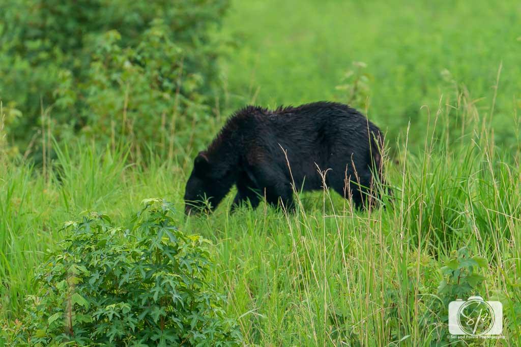 Black-Bear-in-North-Carolina