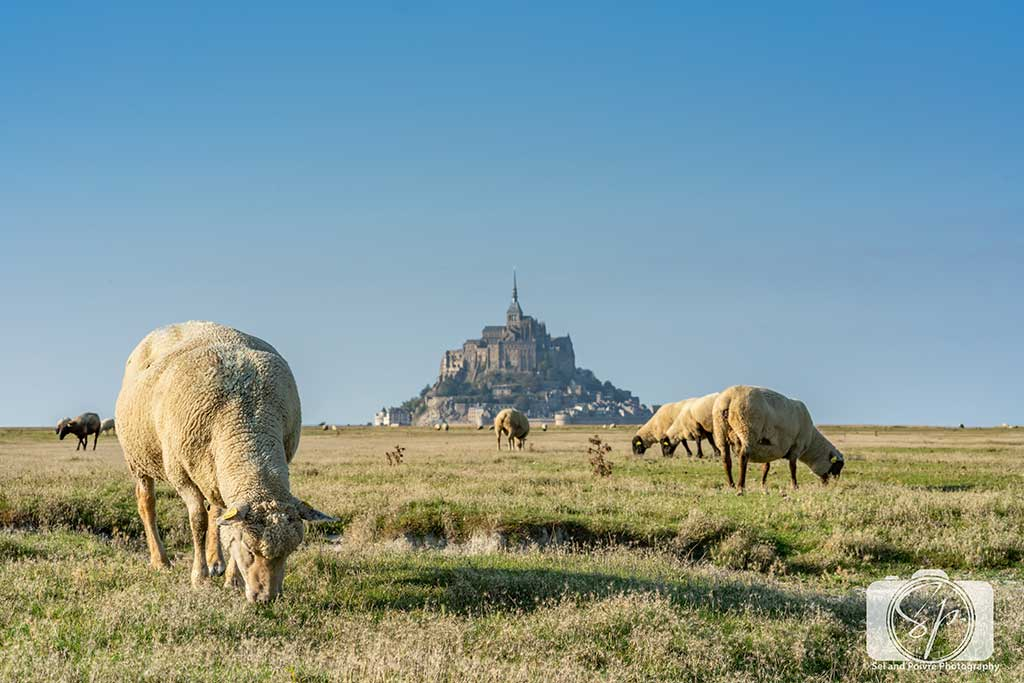 Sheep Farm next to Mont St Michel France 2