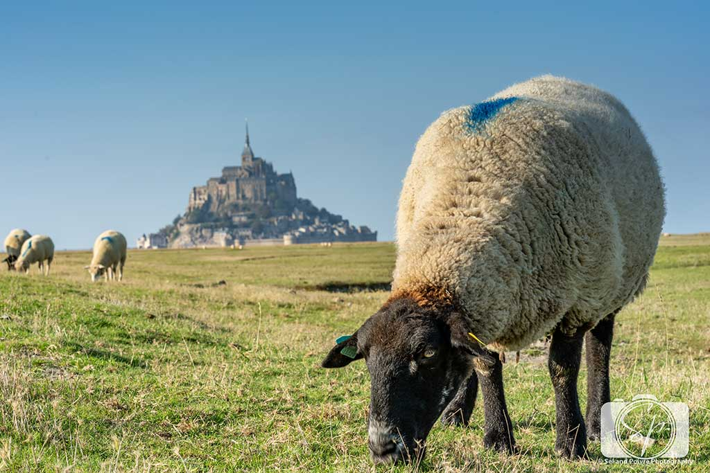 Sheep Farm next to Mont St Michel France