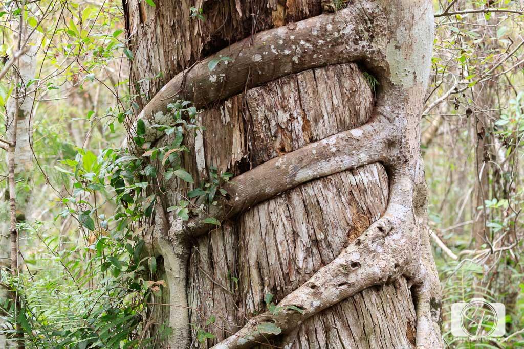 Big-Cypress-National-Preserve-near-Fort-Myers-Florida-USA