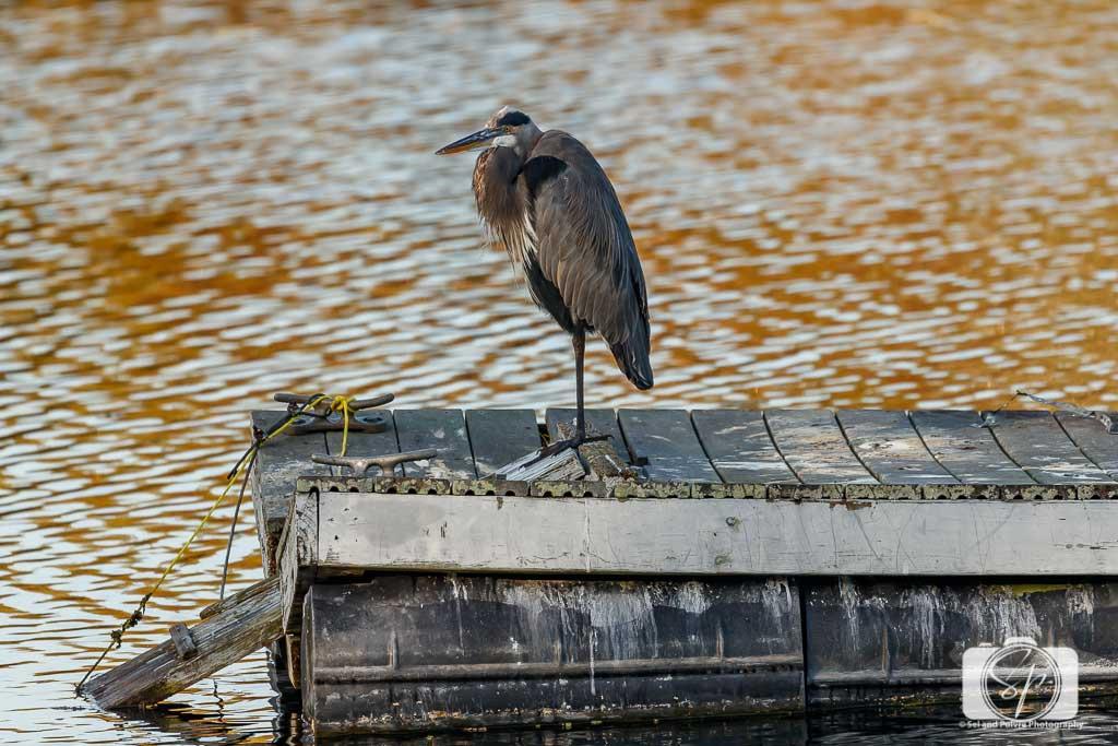 Grey-Heron-at-Six-Mile-Cypress-Slough-near-Fort-Myers-Florida-USA