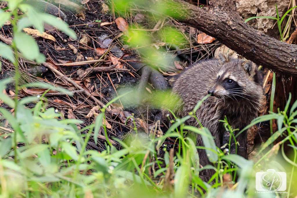 Racoon-at-Audubon-Corkscrew-Swamp-Sanctuary-near-Fort-Myers-Florida-USA