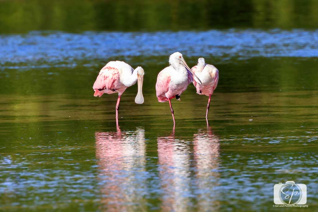 Roseate-Spoonbill-at-J-N-Ding-Darling-National-Wildlife-Refuge-Near-Fort-Myers-Florida-USA