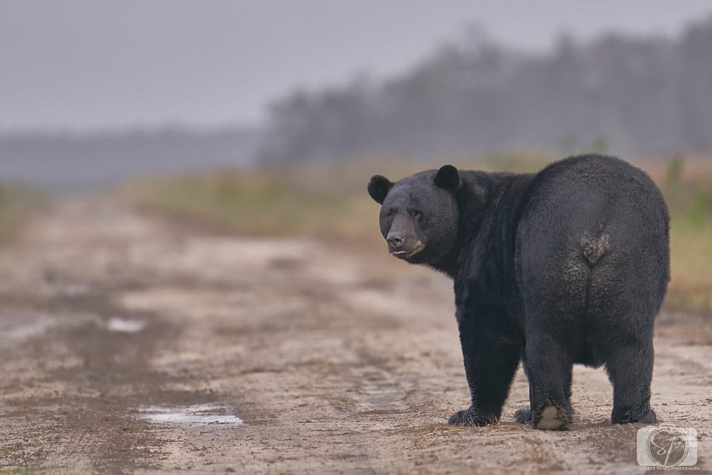 Black Bear at Alligator River National Wildlife Refuge