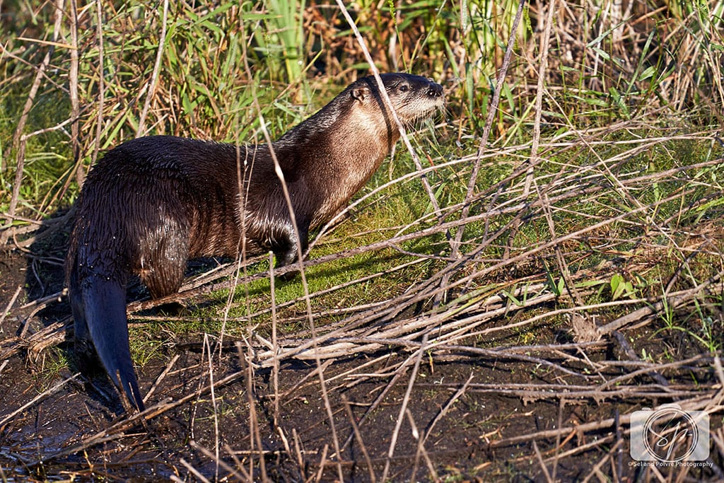 Otter in Alligator River National Wildlife Refuge