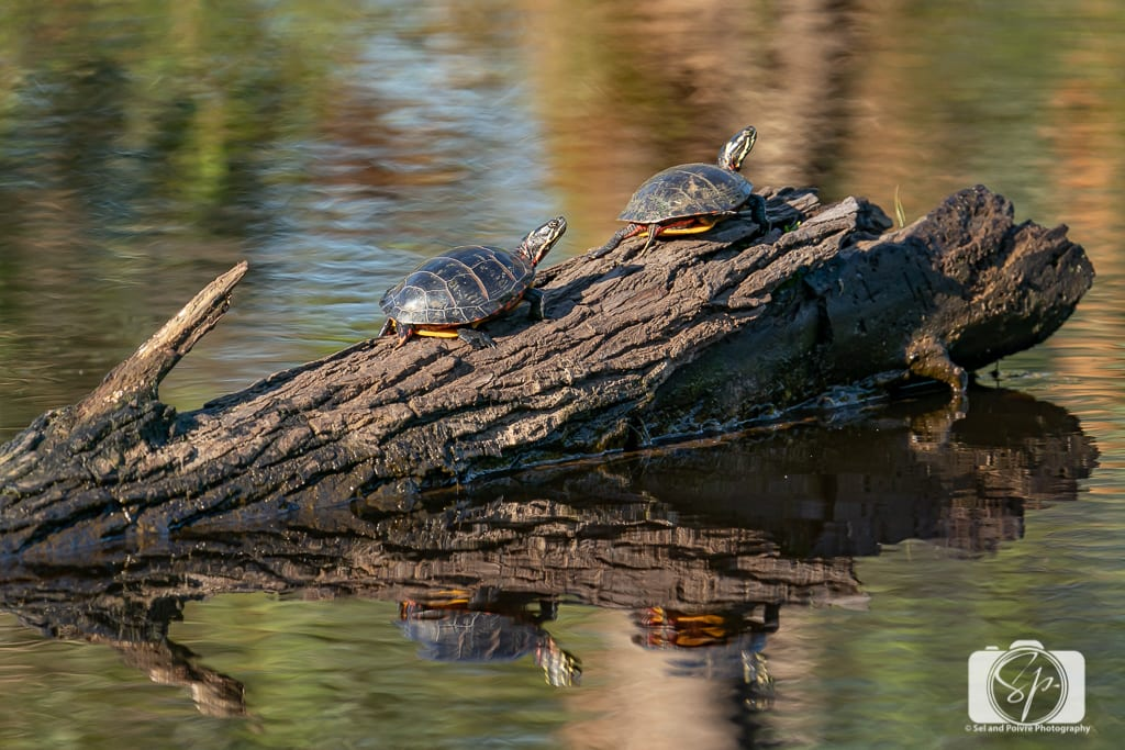 Turtles-Alligator River National Wildlife Refuge