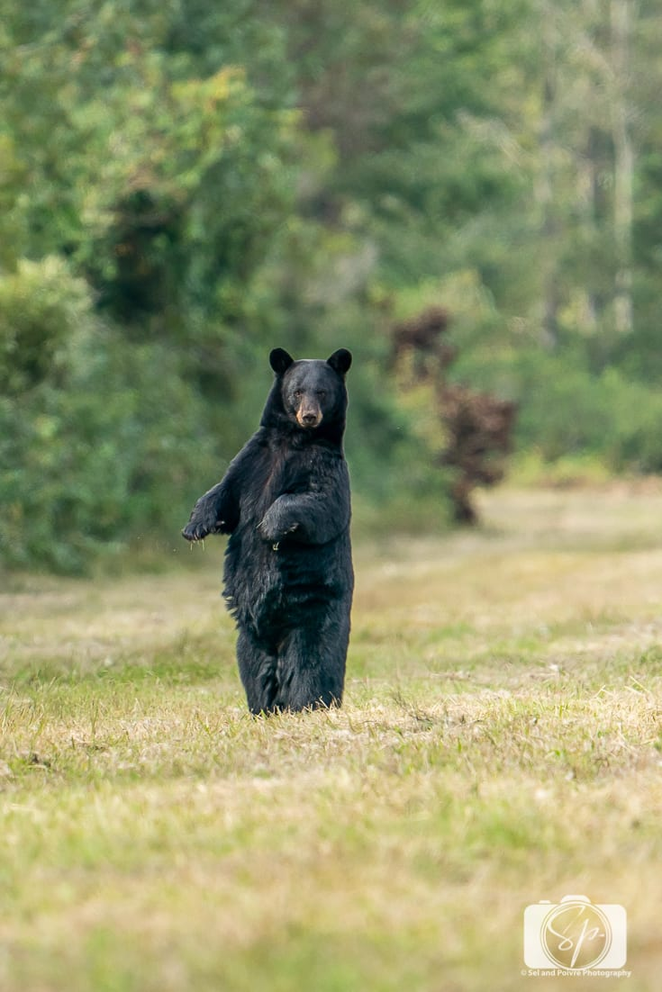 Black Bear standing up in the Pungo Unit of Pocosin Lakes National Wildlife Refuge