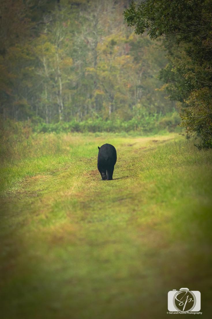 Black Bear walking in the Pungo Unit of Pocosin Lakes National Wildlife Refuge