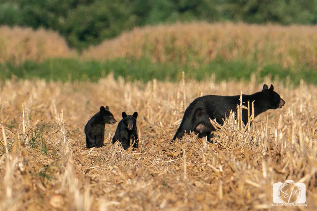 Female Black Bear and cubswalking in the Pungo Unit of Pocosin Lakes National Wildlife Refuge