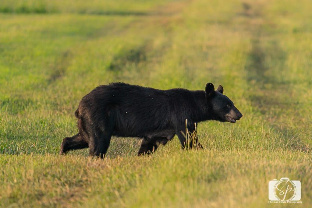 Female Black Bear walking in the Pungo Unit of Pocosin Lakes National Wildlife Refuge