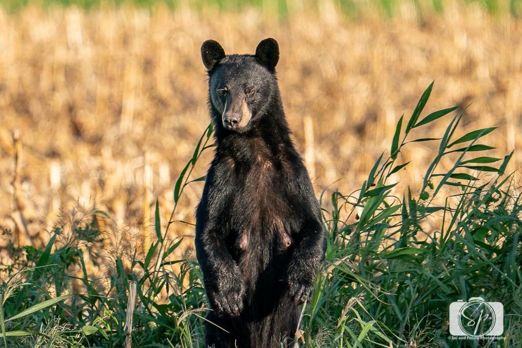 Female Black Bear standing in the Pungo Unit of Pocosin Lakes National Wildlife Refuge