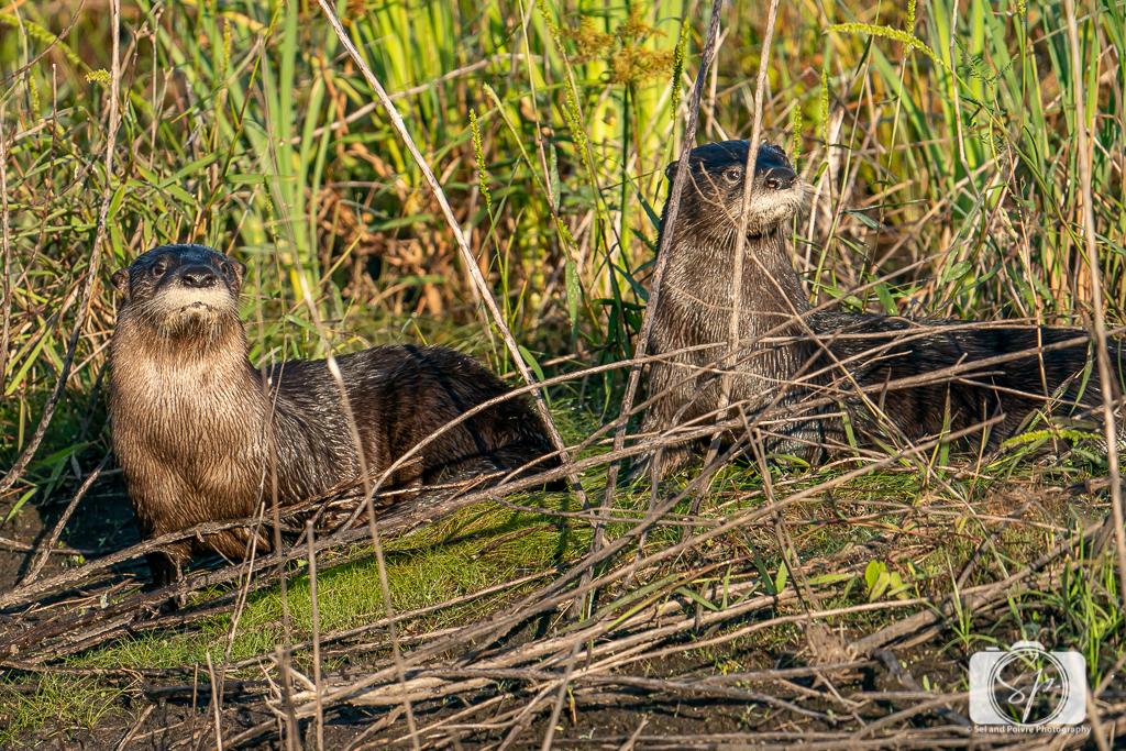 Otters in the Pungo Unit of Pocosin Lakes National Wildlife Refuge
