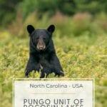 North Carolina Bears - Pungo Unit of Pocosin Lakes