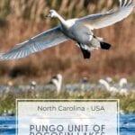Geese in the Pungo Unit of Pocosin Lakes National Wildlife Refuge