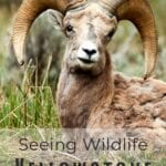 big horn sheep in yellowstone national park