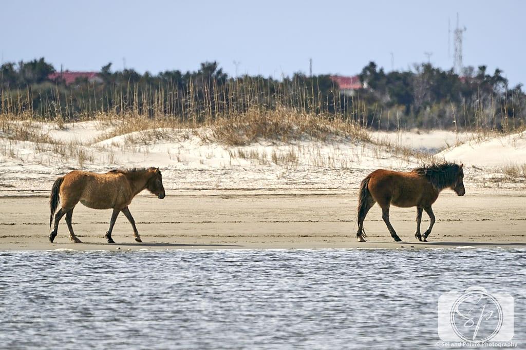 2 Horses on Carrot island Near Beaufort North Carolina