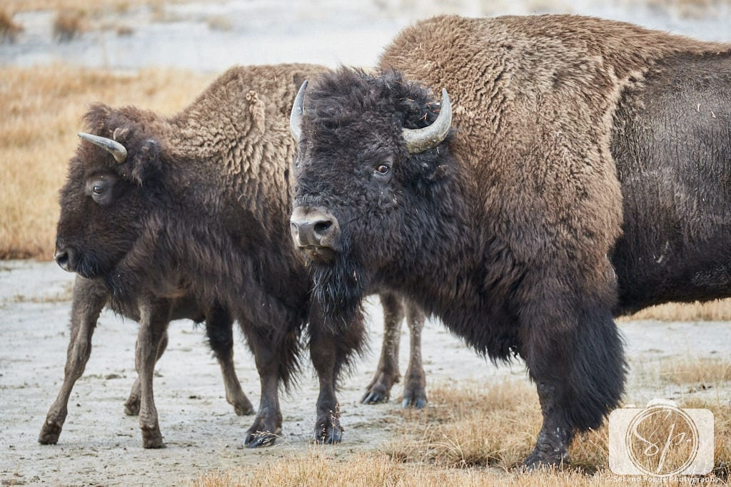Bison mail in Yellowstone National Park