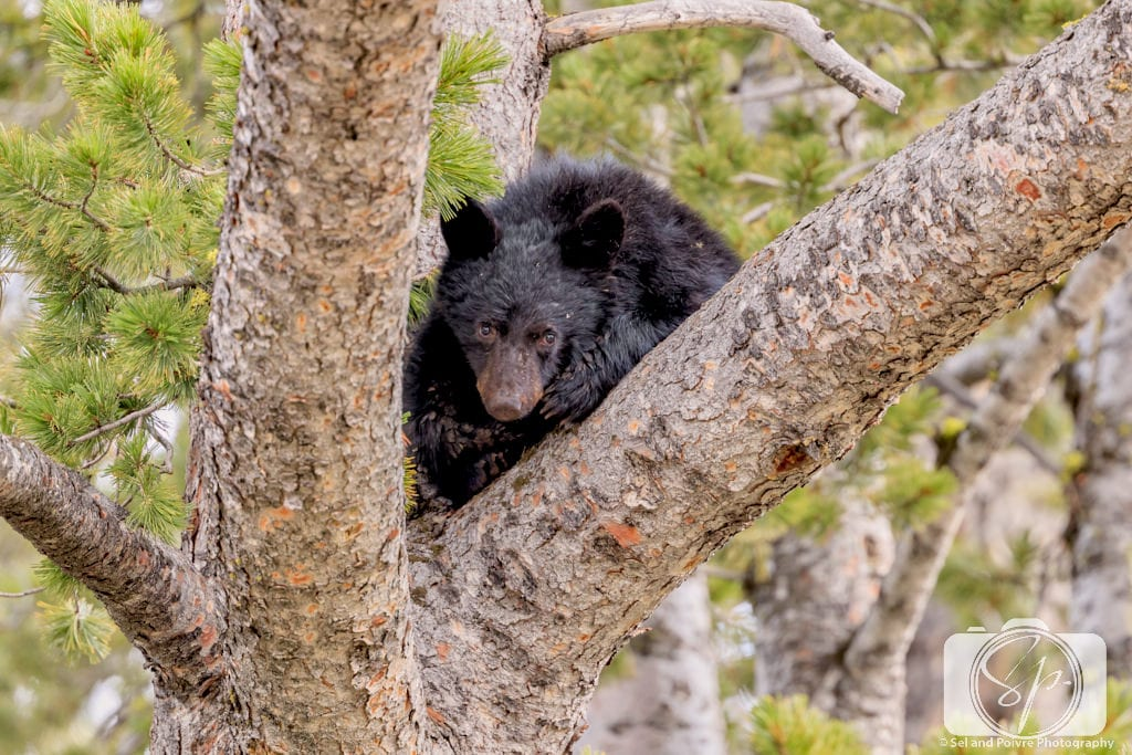 Black Bear Cub in a tree in Yellowstone National Park