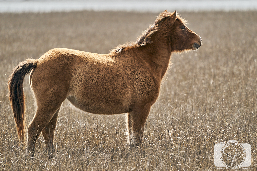 Horse on Carrot island Near Beaufort North Carolina