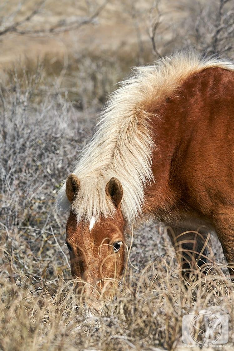 Horse on Shackleford Banks North Carolina