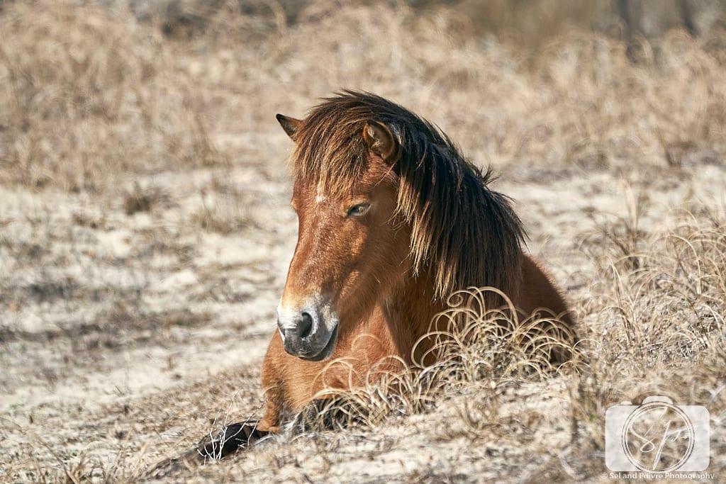 Horse sitting on Shackleford Banks