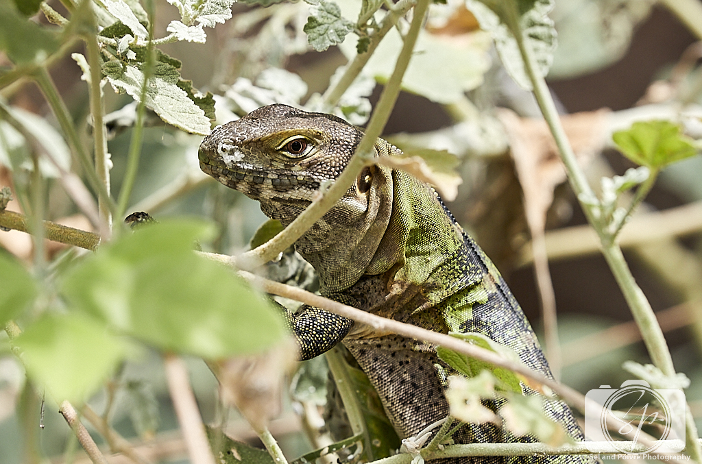Lizard at the Arizona-Sonora Desert Museum