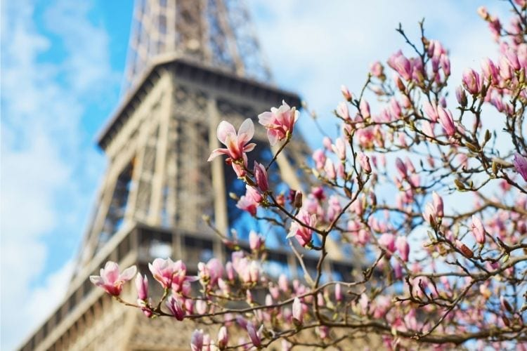 eiffel tower behind cherry blossoms
