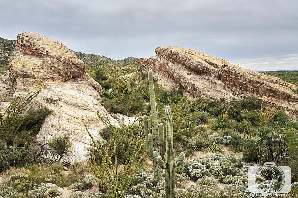 Cactus in Saguaro National Park in Tucson