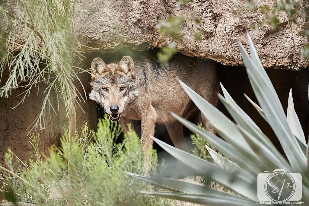Wolf at the Arizona-Sonora Desert Museum