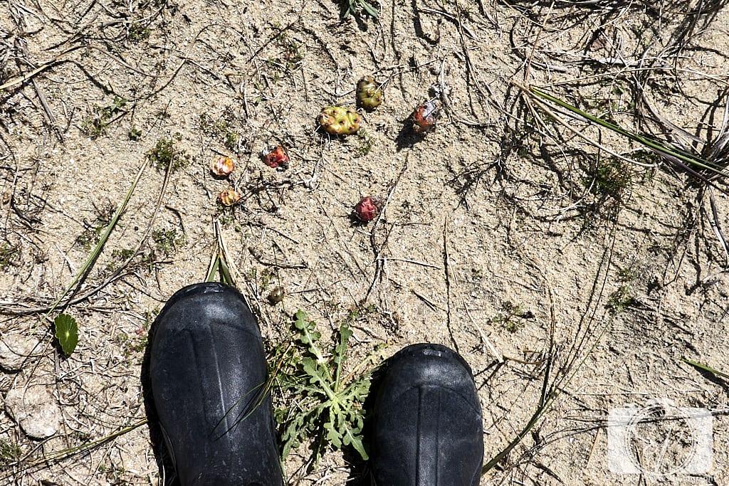 Shackleford Banks Trail Cacti