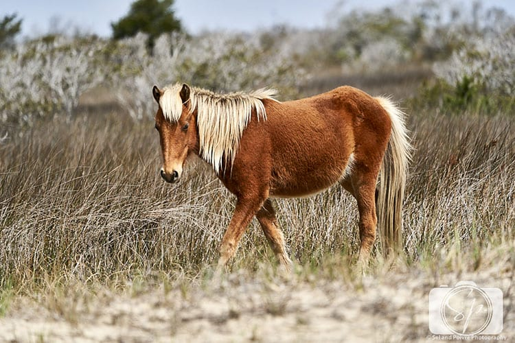 Wild horse Shackleford Banks North Carolina
