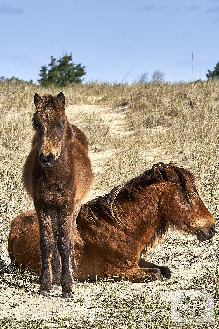 Wild horses Shackleford Banks North Carolina