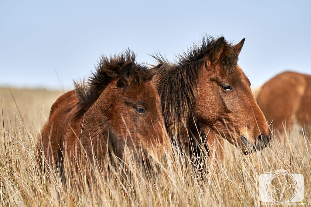 Wild horses in Shackleford Banks North Carolina