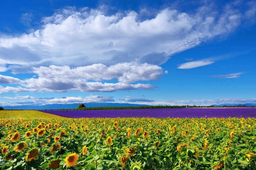 sunflower and lavender fields